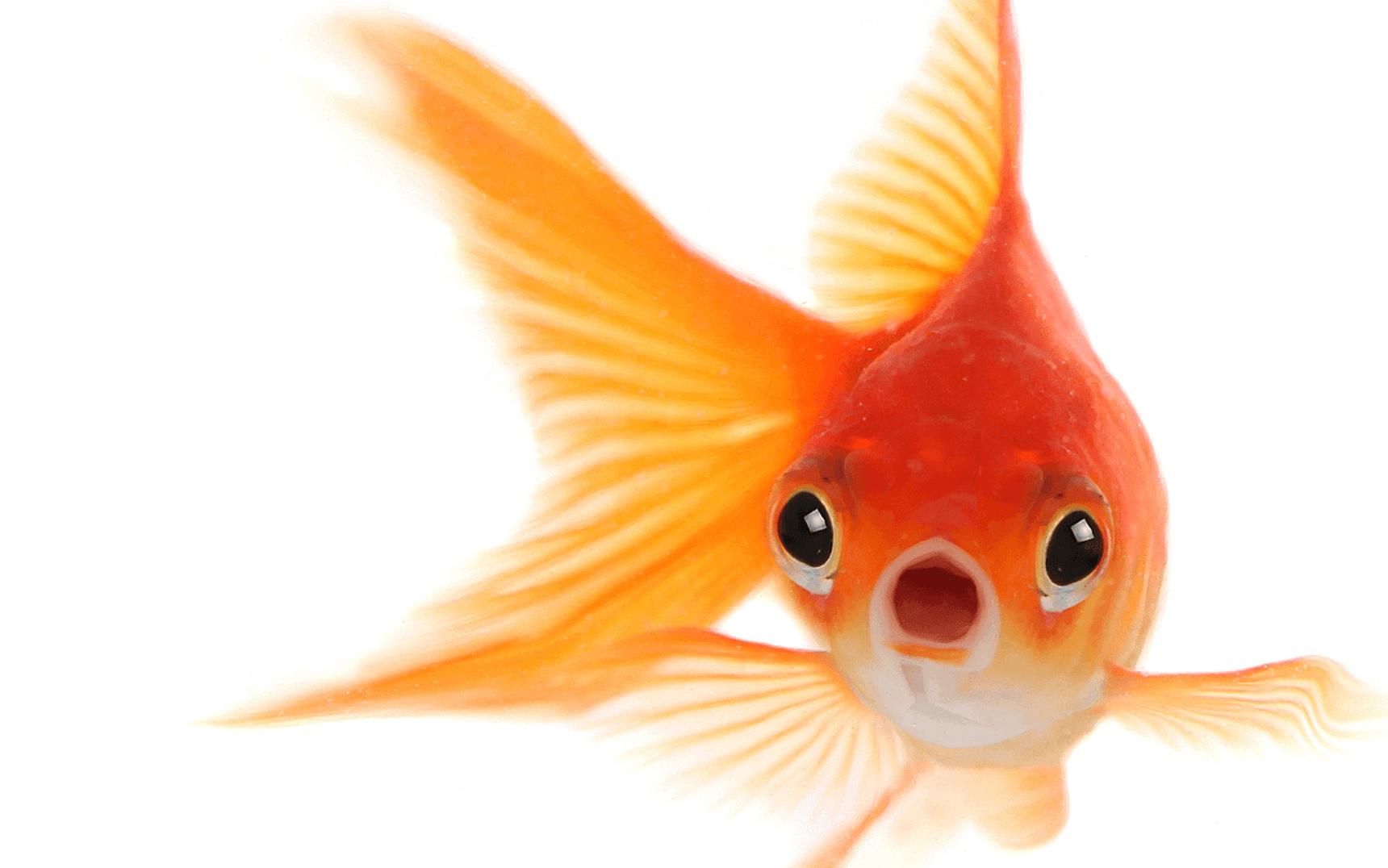 goldfish png www pixshark com images galleries with a goldfish clip art free goldfish clipart watercolor